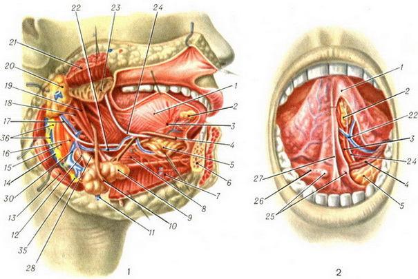 Подъязычная железа