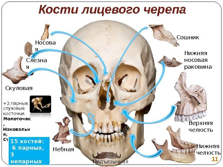 Кости лицевого отдела черепа