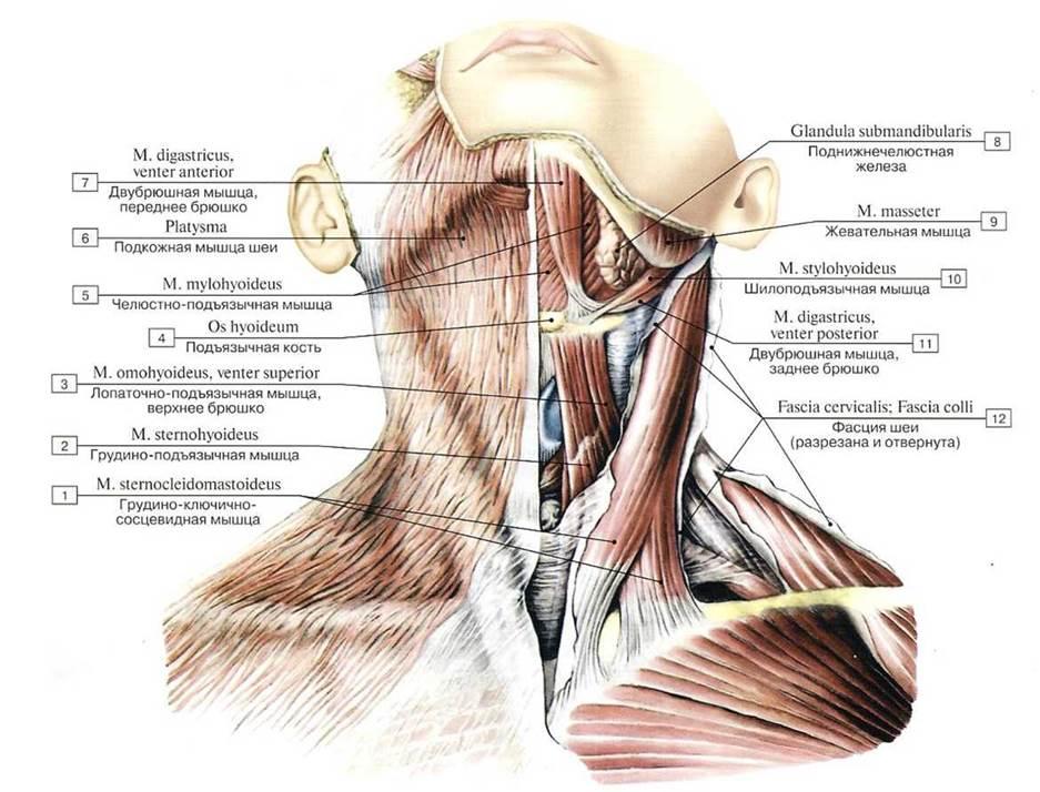 Мышцы и фасции челюстно-лицевой области и шеи