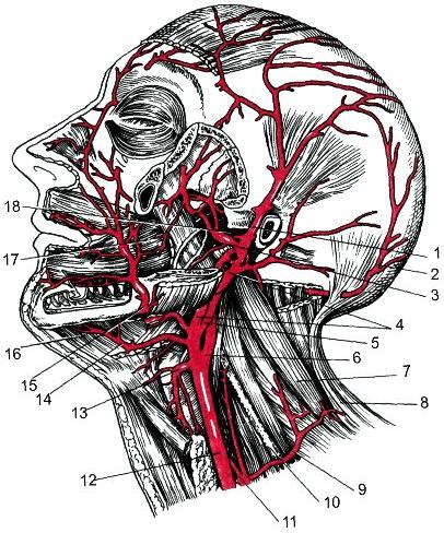 Кровоснабжение лица и органов полости рта
