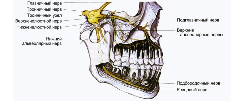 Иннервация челюстно-лицевой области