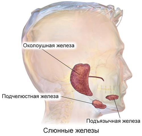 Околоушная железа